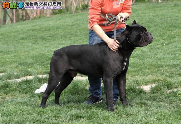 卡斯罗,纯种卡斯罗幼犬出售