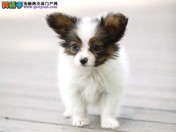 出售郑州蝴蝶犬专业缔造完美品质郑州周边免费送货