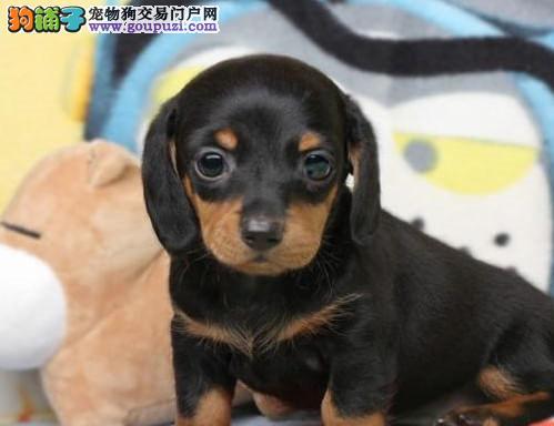 纯种腊肠犬宝宝福州地区找主人微信看狗真实照片包纯