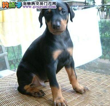 出售郑州杜宾犬专业缔造完美品质诚信信誉为本