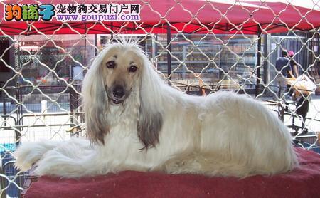 完美品相血统纯正贵阳阿富汗猎犬出售终身质保终身护养指导
