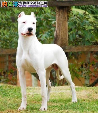 出售杜高犬幼犬、公母均有颜色齐全、购犬可签协议