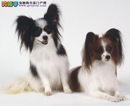 杭州纯种翩翩起舞 小蝴蝶犬出售