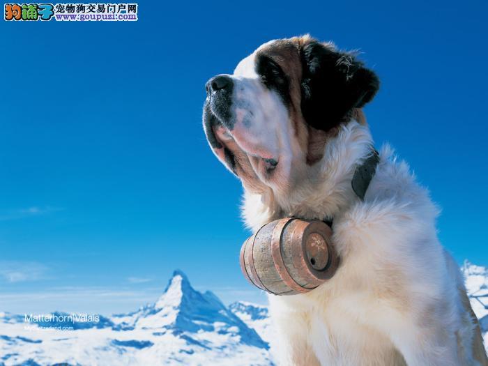 国服第一大型犬圣伯纳 自己繁殖的.品质绝对