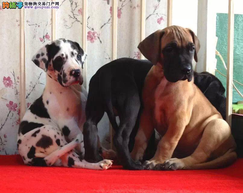 养殖场直销完美品相的大丹犬保障品质售后