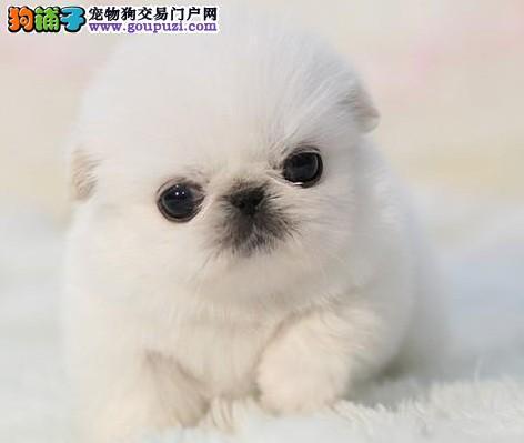 买卖京巴犬在什么地方 纯种京巴哪里有出售的
