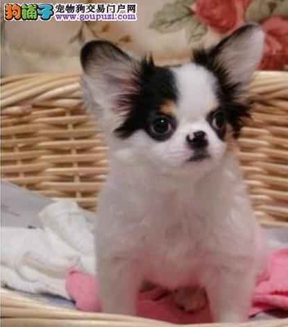 重庆哪里可以买到蝴蝶犬 哪里有卖蝴蝶犬的