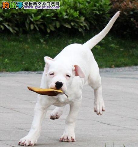 出售正宗血统优秀的太原杜高犬可以送货上门