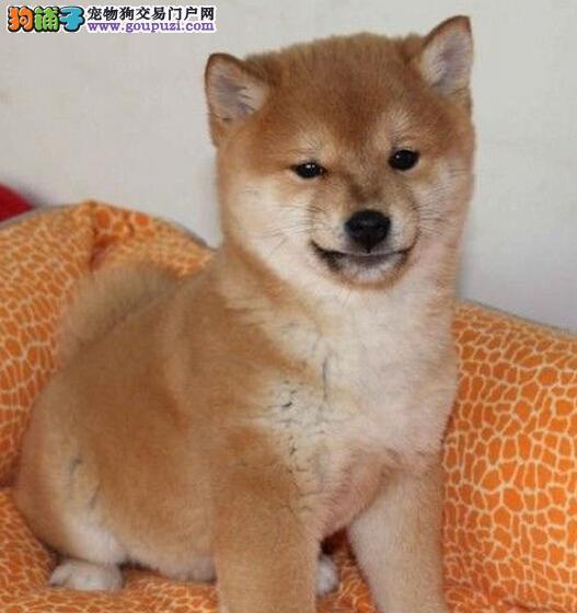诚信犬舍,精品可爱柴犬出售,质保三年