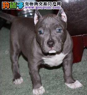 赛级品相比特犬幼犬低价出售金牌店铺有保障