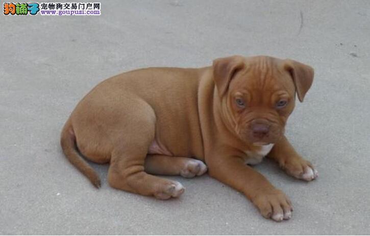 成都自家狗场繁殖直销比特犬幼犬签署质保合同