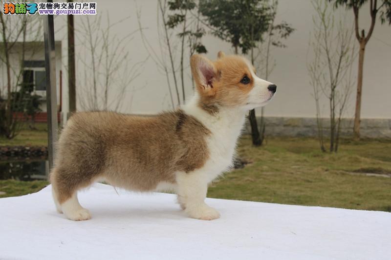 出售极品柯基幼犬 CKU认证犬舍欢迎前来挑选