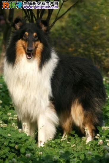 纯种犬繁殖基地专业缔造优质苏牧犬可看父母公母齐全