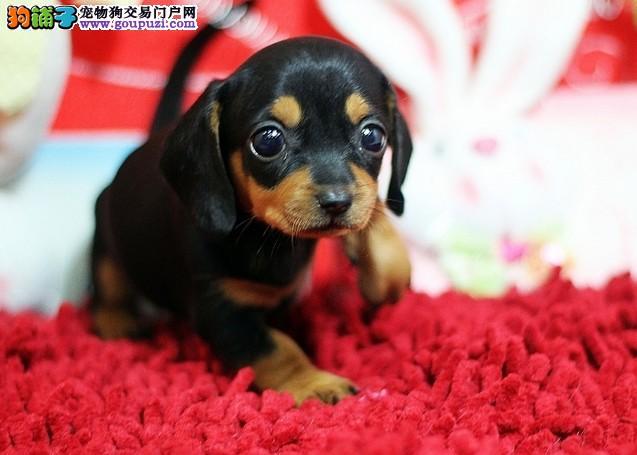 郑州养殖场直销完美品相的腊肠犬保终身送用品