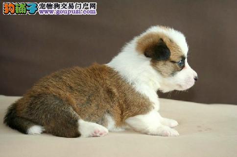 威尔士柯基犬宝宝 健康纯种 终身质保 可送货上门挑