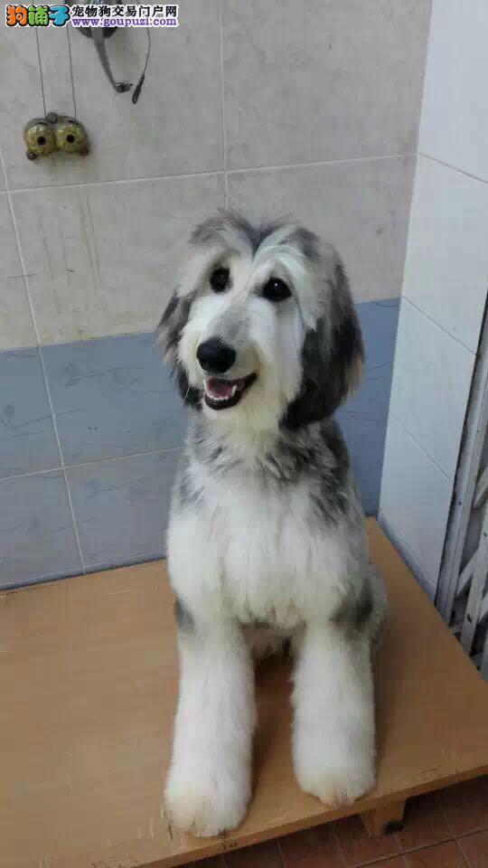 吉林自家繁殖的纯种阿富汗猎犬找主人带血统证书签活体协议