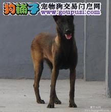 犬舍直销品种纯正健康海口马犬国际血统证书