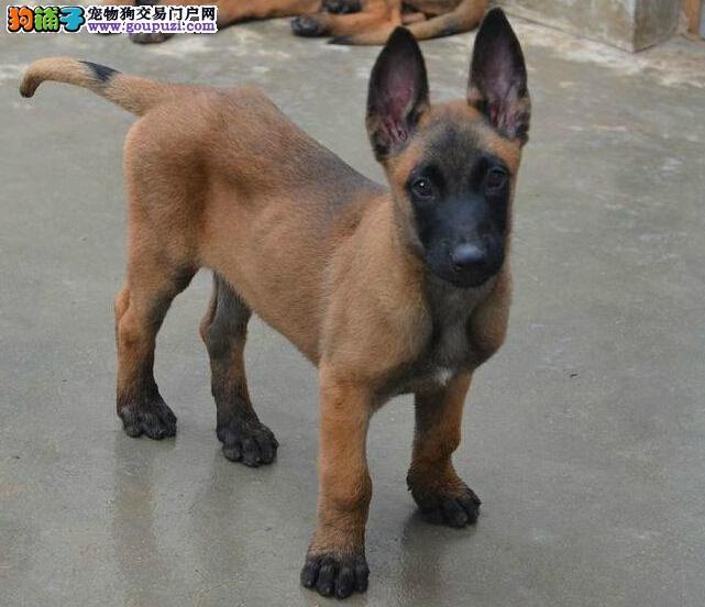 养殖场直销完美品相的马犬保障品质一流专业售后