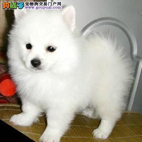 FCI认证犬业纯血统繁殖基地赛级银狐幼犬 健康质保