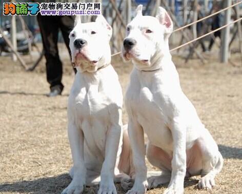 !出售纯种阿根廷杜高幼犬 带血统证!