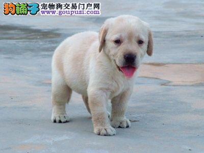 西宁热销 迷人憨厚的小拉布拉多导盲犬 是很忠厚的