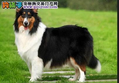 狗场直销高品质 赛级血统苏牧幼犬 2/4个月都有