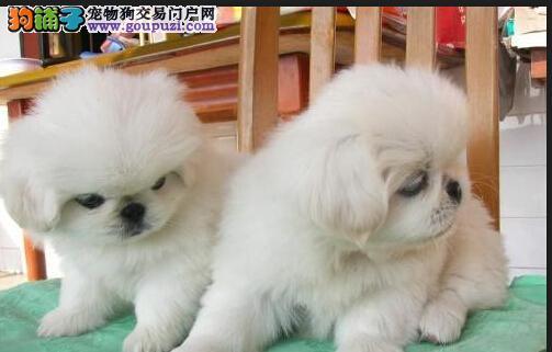 超萌纯种漂亮的宫廷京巴犬 健康质保 签订购犬合同