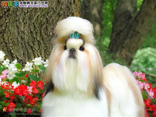 武汉热卖西施犬多只挑选视频看狗保证品质完美售后