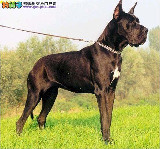 精品高品质大丹犬幼犬热卖中签订三包合同