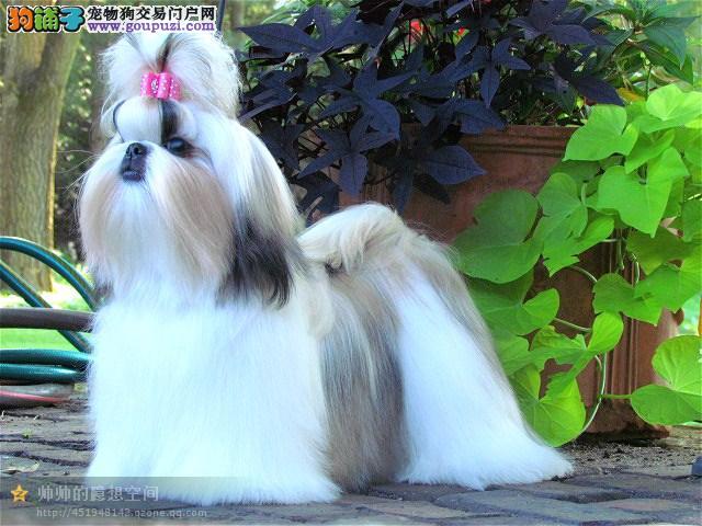 CKU犬舍认证出售高品质西施犬以品质惊世人