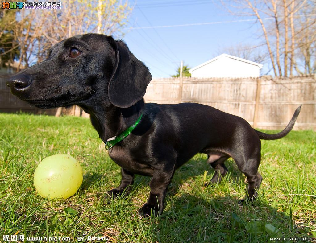 正宗极品济南腊肠犬绝对血统纯正质量三包完美售后