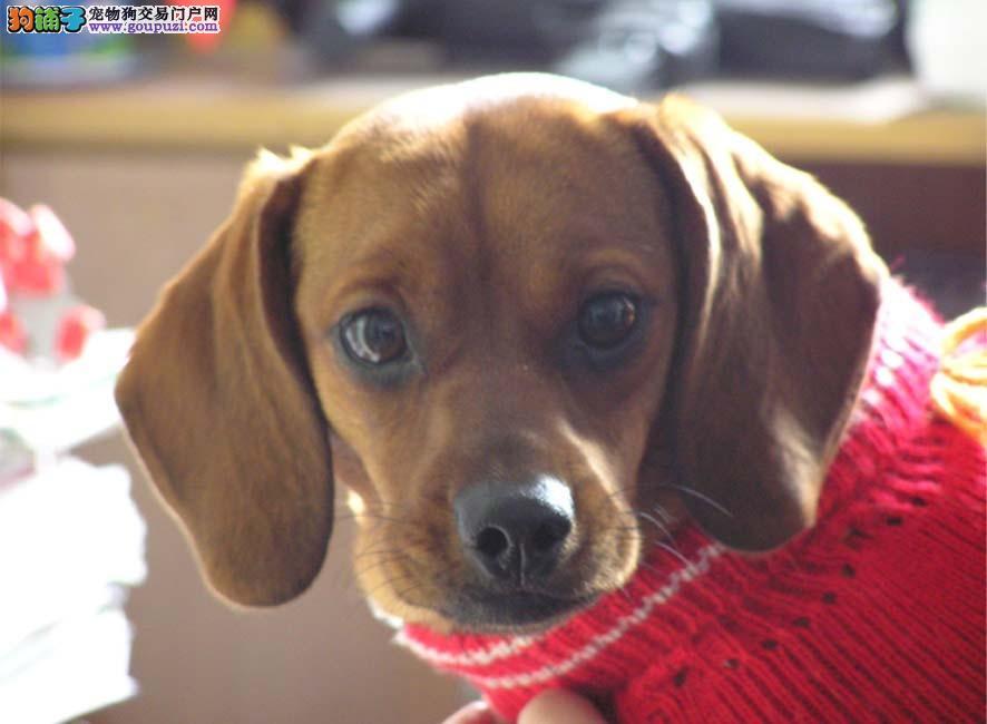 海口出售腊肠犬幼犬品质好有保障喜欢来电咨询
