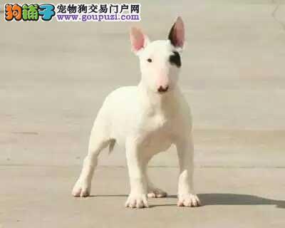 极品纯正的郑州牛头梗幼犬热销中全国质保全国送货