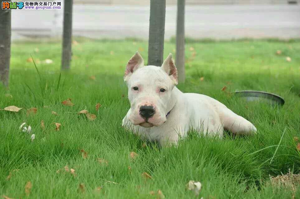 郑州出售极品杜高犬幼犬完美品相签订保障协议