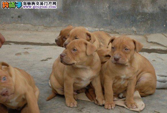 出售极品比特犬幼犬完美品相全国十佳犬舍