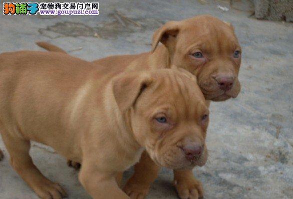 比特犬贵阳最大的正规犬舍完美售后签署质保合同