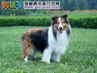 ]高品质纯种健康喜乐蒂幼犬终身保障