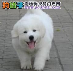 纯种健康大白熊幼犬品质保证 上门可签协议