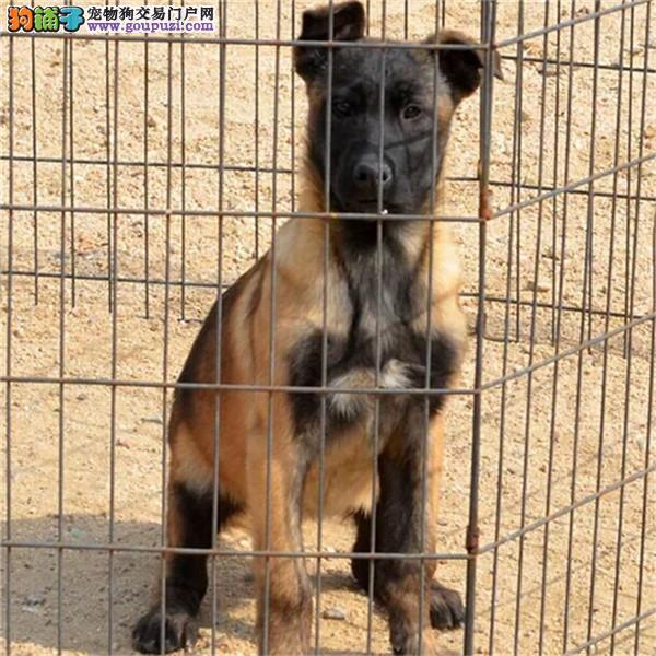 热销多只优秀的纯种成都马犬品质保障可全国送货