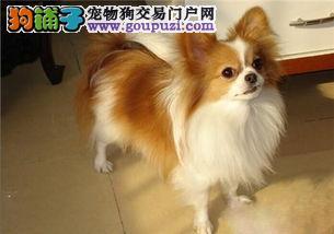 西安出售蝴蝶犬幼犬品质好有保障CKU认证绝对信誉保障