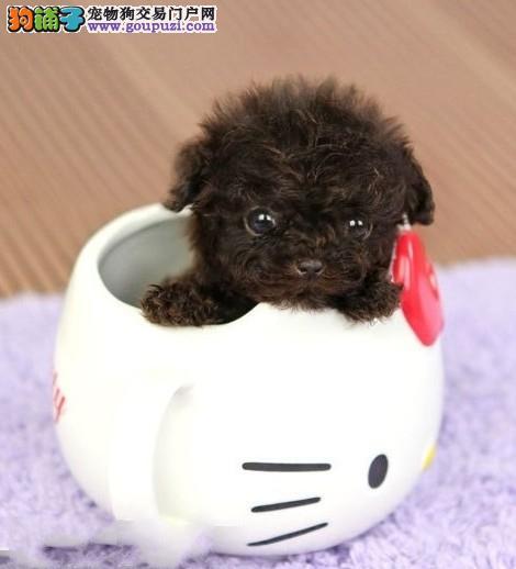 广州纯种茶杯犬到哪里买 广州正规的狗场在哪里
