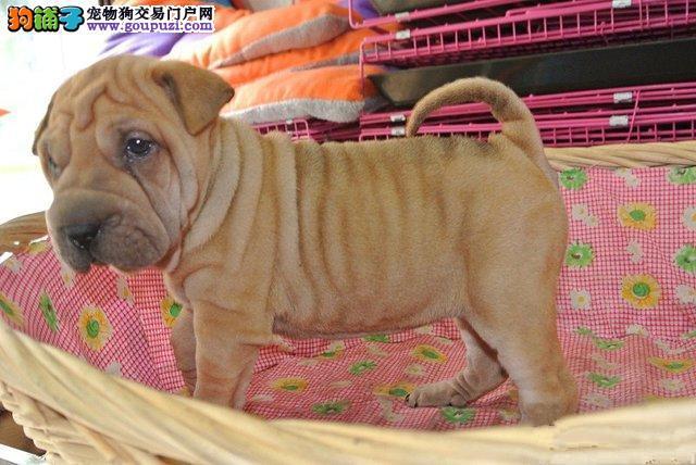 沙皮幼犬出售哪里出售纯种沙皮幼犬包纯包健康