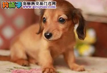 活泼、勇敢、有点轻率的狗狗——腊肠犬