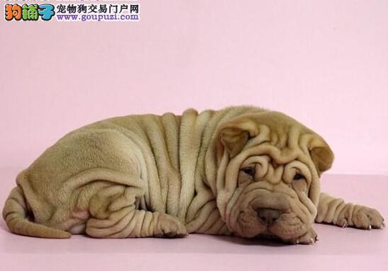 郑州正规犬舍高品质沙皮狗带证书签正规合同请放心购买