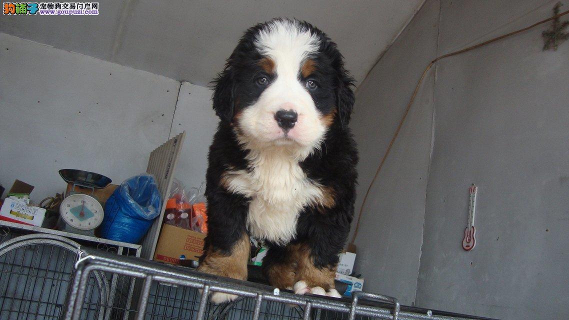 出售成都伯恩山专业缔造完美品质爱狗人士优先