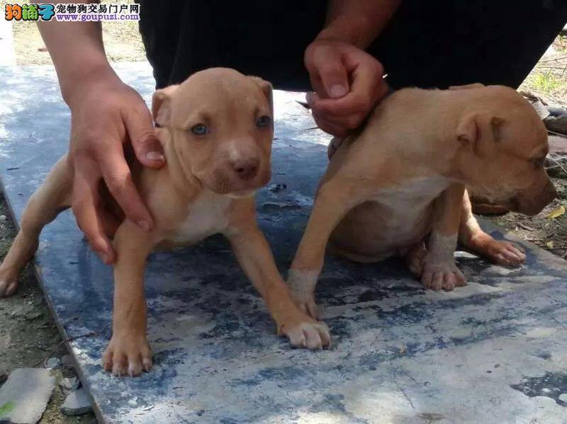 郑州知名犬舍出售多只赛级比特犬国外引进假一赔百