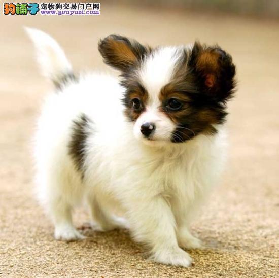 出售蝴蝶犬宝宝、保证血统纯度、签订终身合同