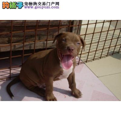 顶级优秀的纯种南京比特犬热销中签署各项质保合同