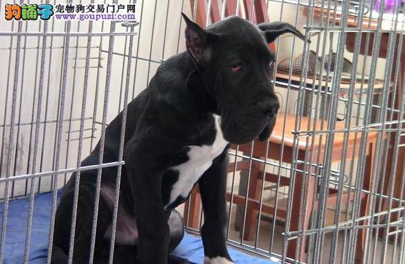 实物拍摄的西双版纳大丹犬找新主人狗贩子请勿扰