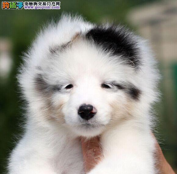 温州哪里有喜乐蒂犬出售的 温州纯种喜乐蒂多少钱一只